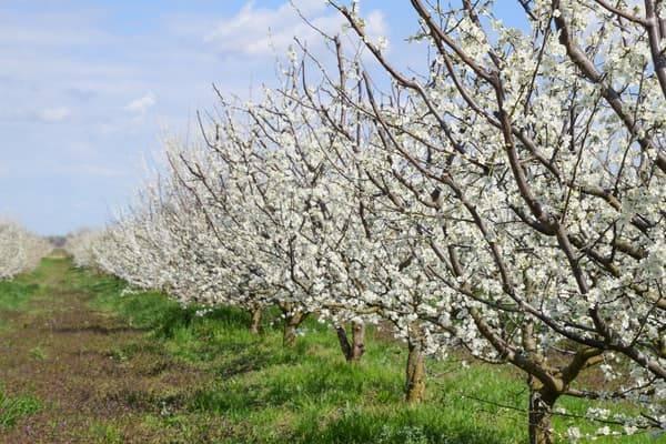 161799933341833403524 flowering plum garden min optimize