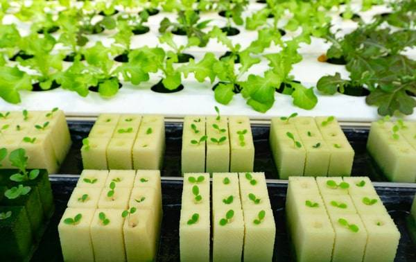 Problems Associated With Hydroponics-no stress hydroponics-hydroponic seedling dying-hydroponic seedling problem
