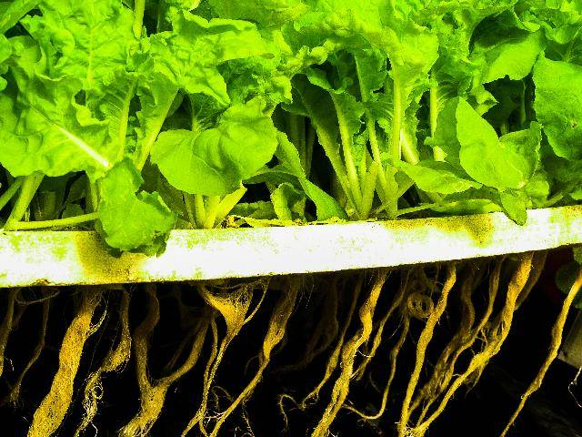 problems associated with hydroponics-nutrient lockout pictures-hydroponic nutrient