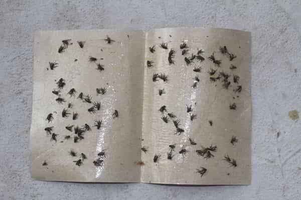 Hydroponic pest control-sticky-fly-paper-trap-sticky trap
