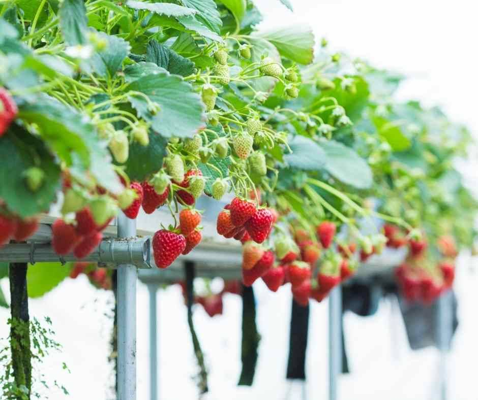 how to grow hydroponic strawberry-nutrient film technique-nft-how to build nutrient film technique-hydroponics
