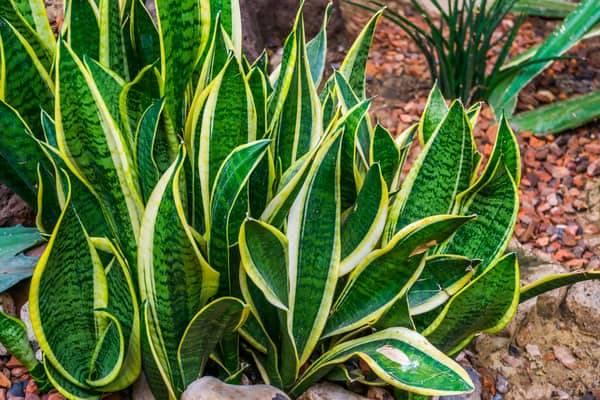 propagating snake plant-snake plant-house plant
