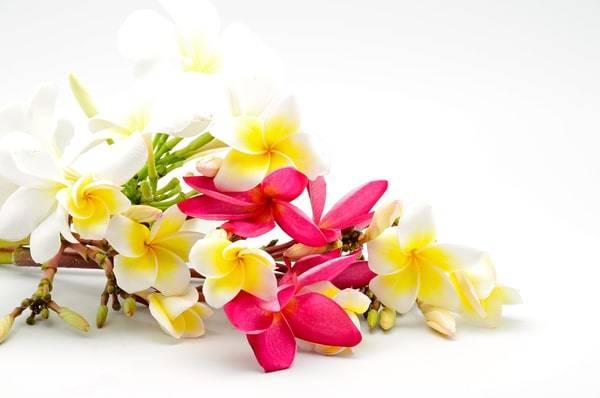 plumeria-frangipani-plumeria flower-plumeria tree-plumeria plant