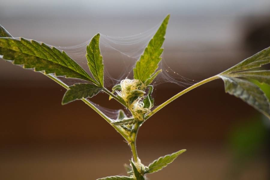 spider mites-how to get rid of spider mites-how to kill spider mites
